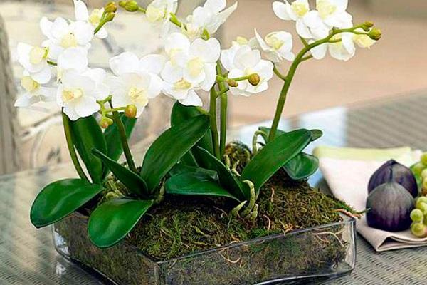 Белая мини орхидея