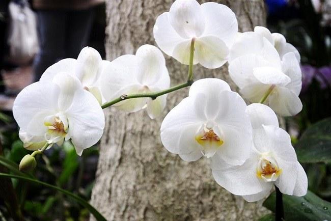 Белая орхидея Афродита