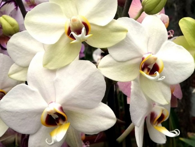 Белоснежная орхидея Валенсия