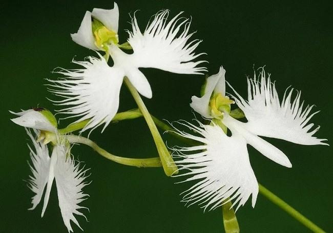 Орхидея белая цапля