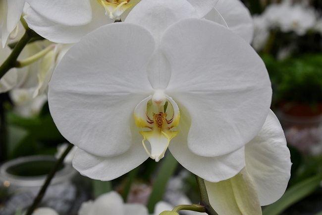Белый фаленопсис Амабилис