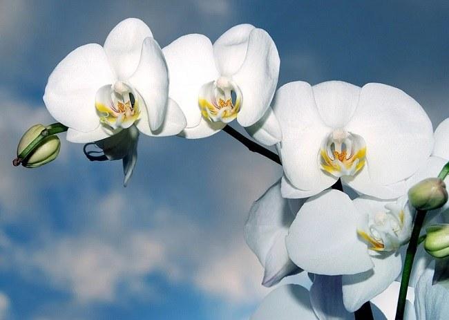 Королевская белая орхидея