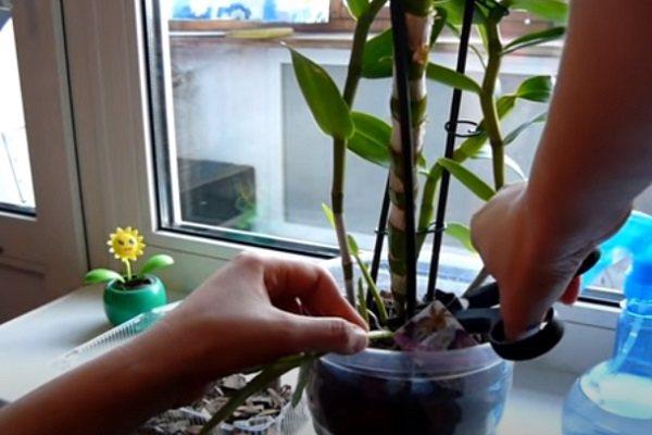 Срез стебля дендробиума