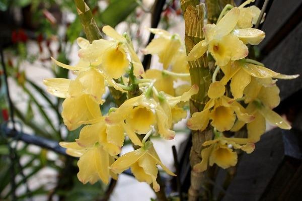 Желтый дендробиум