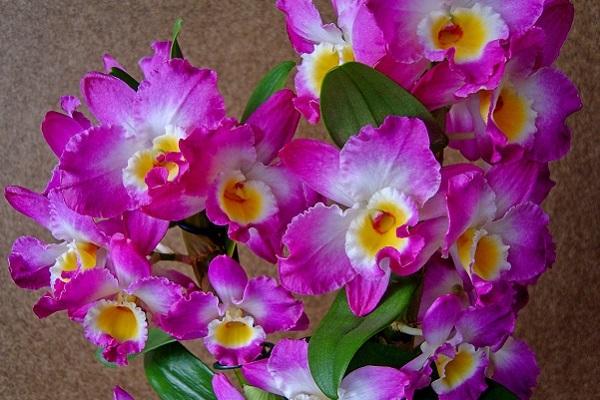 Dendrobium nobile Akatsuki