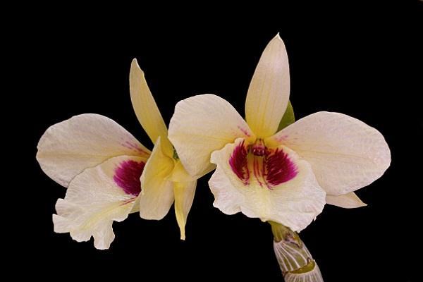 Dendrobium Ainsworthii Roseum
