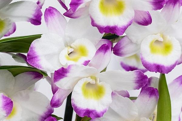 Dendrobium nobile Irene Smile