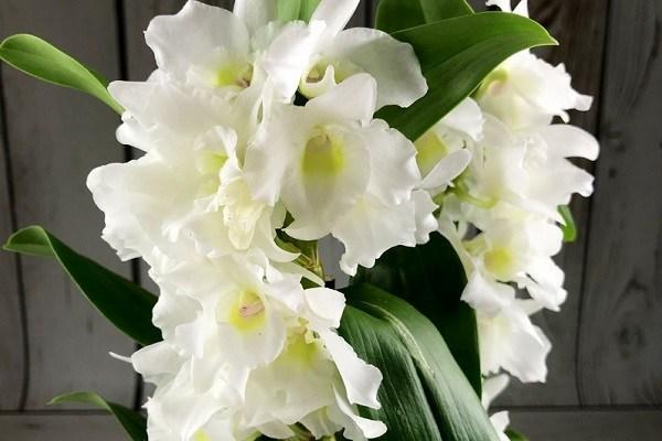 Дендробиум Нобиле фото белой орхидеи