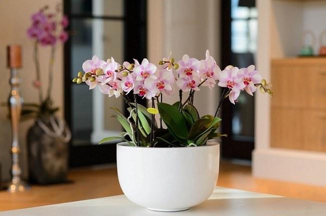 Отличие фаленопсиса от орхидей