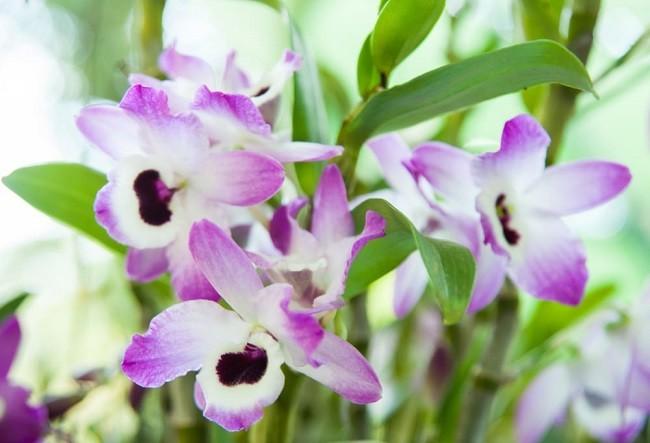 Цветущий дендробиум