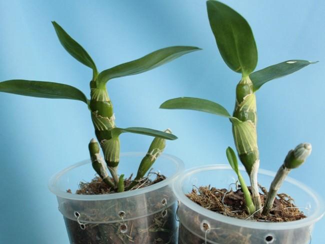 Посадка деток орхидеи