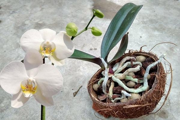 Мини орхидея в кокосе