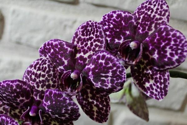 Насыщенно фиолетовый окрас