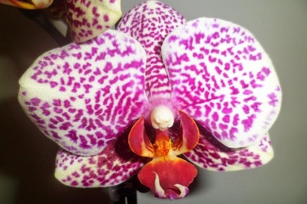 Phalaenopsis Jaguar
