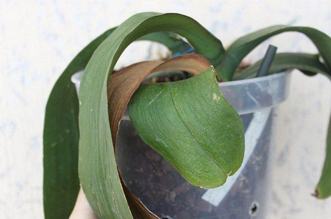 Желтеют листья на орхидеи