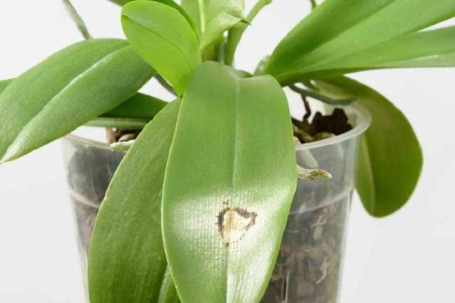 Ожог листьев орхидеи