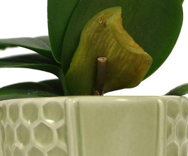 Желтый нижний лист на орхидеи