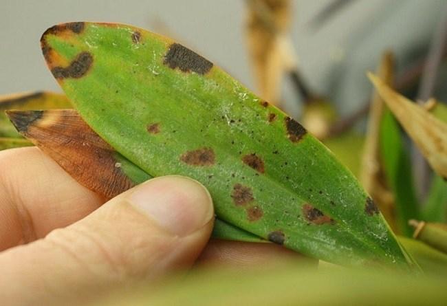 Антракерз на орхидеи