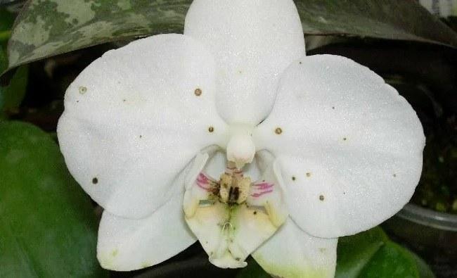 Пятна на цветках орхидеи