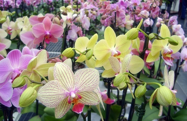 Разнообразие расцветок фаленопсиса