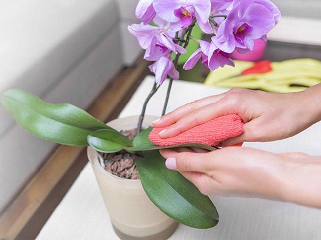 Протирание листьев орхидеи