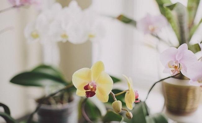 Фаленопсисы в доме