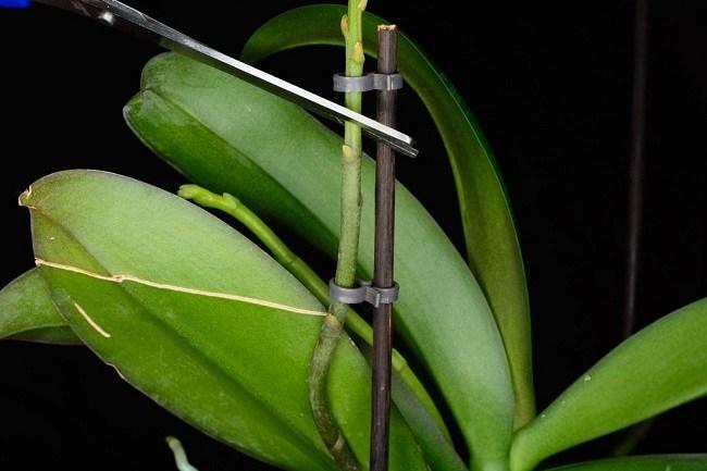 Обрезка цветоноса орхидеи