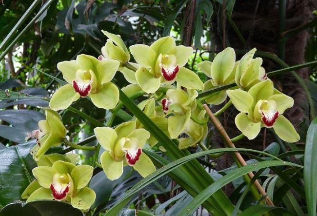 Желтая орхидея в природе