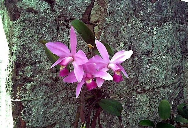 Орхидея литофит