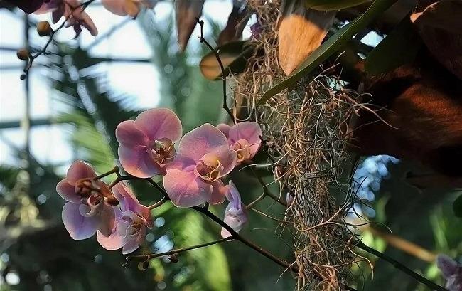 Как в природе растет орхидея