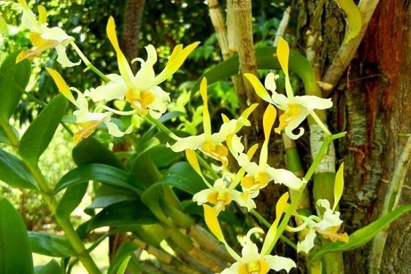 Ярко-желтые орхидеи