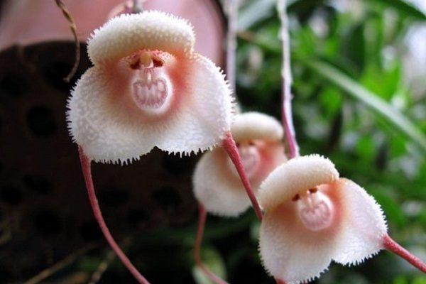 """Орхидея """"обезьянка"""""""