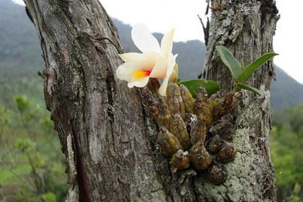 Крупная белая орхидея