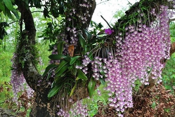 Каскад фаленопсисов в природе