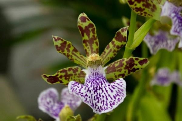 Орхидея-звездочка