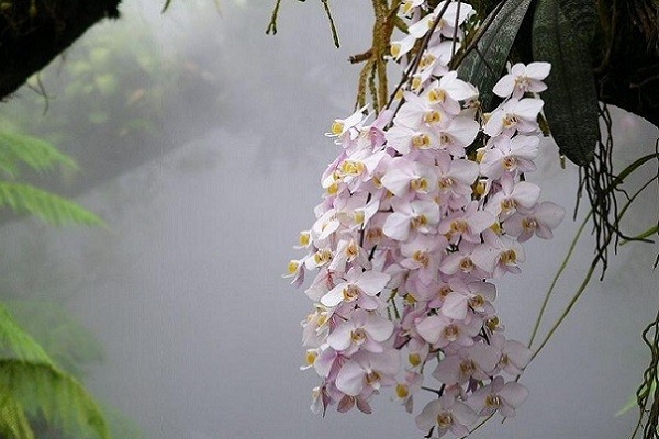 Белые фаленопсисы