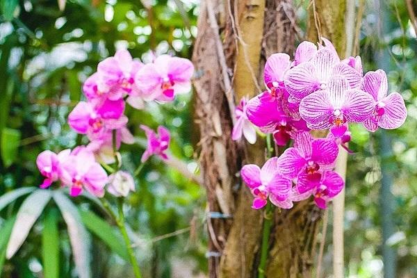 Розовые фаленопсисы