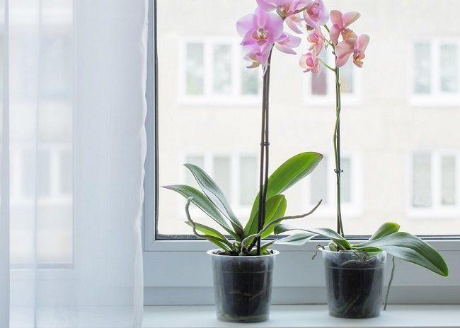 Орхидея на западном окне