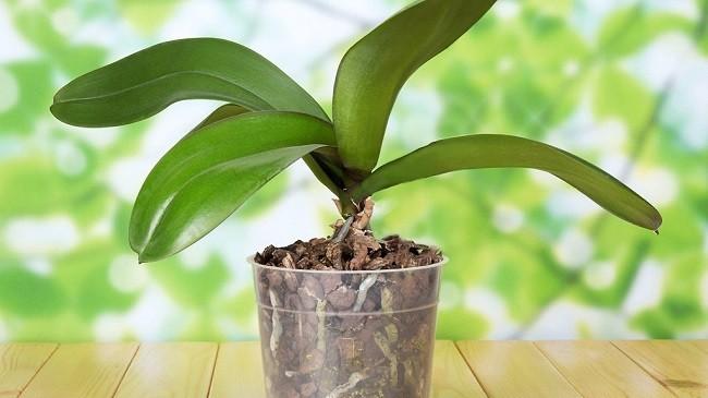 Период покоя у орхидеи