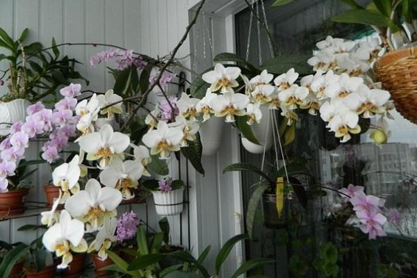 Коллекция орхидей на крытой лоджии