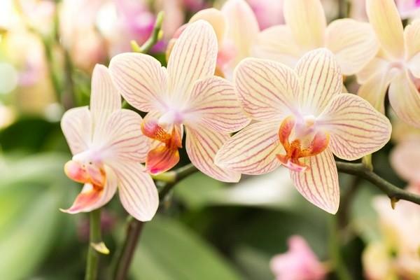 Бежевые орхидеи
