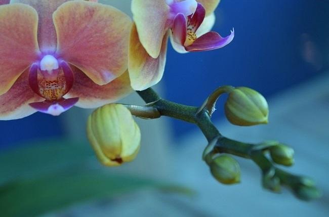 Бутоны на орхидеи