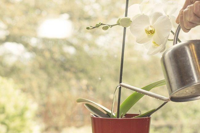 Полив орхидеи с лейки