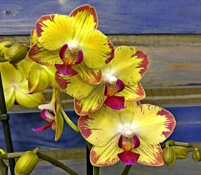 орхидея попугай фото
