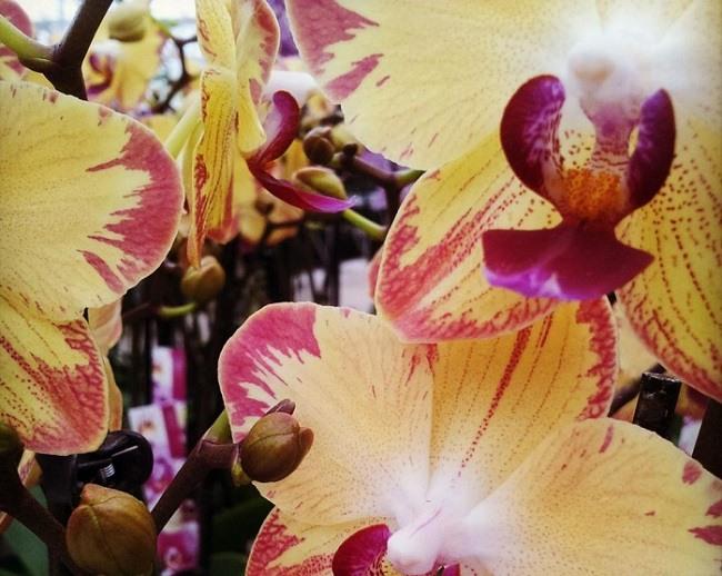 Цветущая орхидея попугай