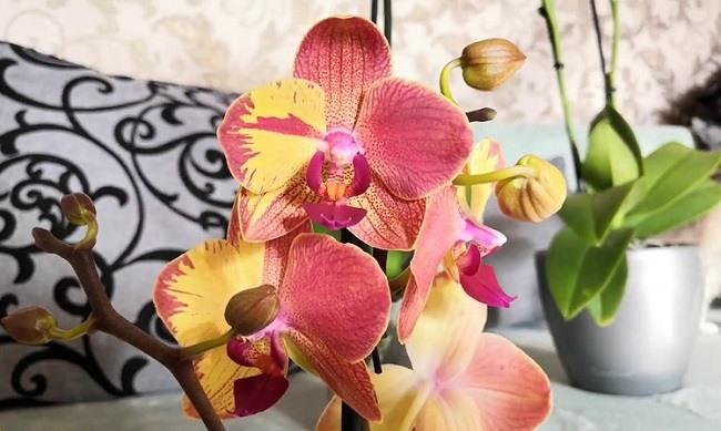 Цветение фаленопсиса попугай