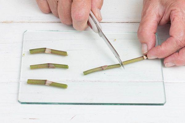 Подготовка черенков фаленопсиса