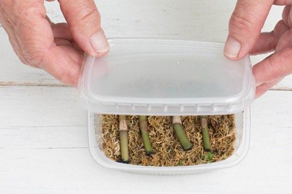 Размещение черенков на мох в тепличку