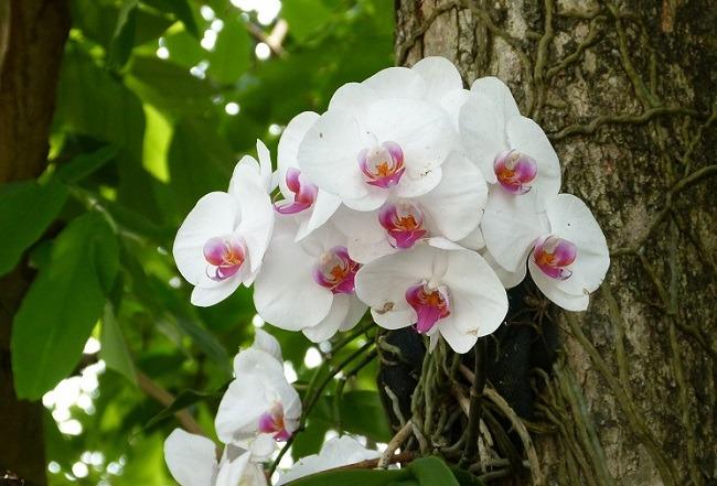 Фаленопсис на дереве