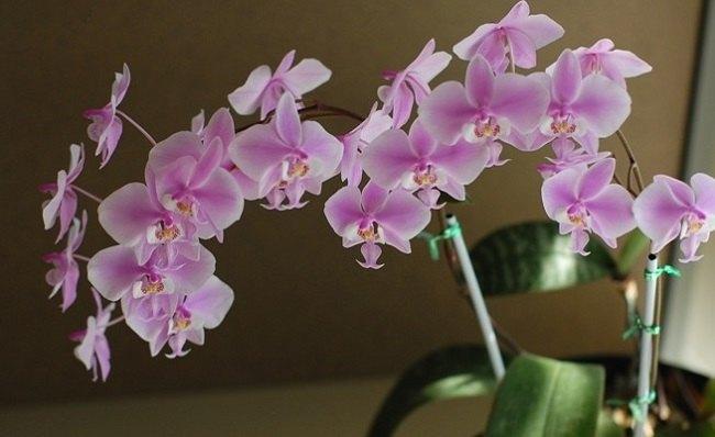 Цветущий фаленопсис дома
